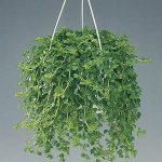 Ампельные комнатные растения какие виды существуют, их названия, как за ними ухаживать и размножать