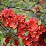 Айва японская или Хеномелес описание сортов и фото, особенности выращивания, посадки и ухода