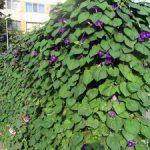 Выращивание ипомеи размножение, посадка и уход в открытом грунте, фото