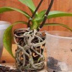 Как пересаживать орхидеи в домашних условиях причины пересадки, инструкции и описание процесса,