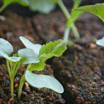 Выращивание цветной капусты на даче особенности выращивания из семян, правила пересадки в грунте