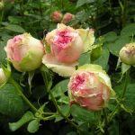 История роз разновидности, описание старых и современных сортов садовых роз, их названия и фото
