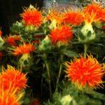 Выращивание сафлора красильного что это такое, сфера применения, посадка и уход за семенами