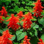 Выращивание блестящей сальвии описание, посев рассады и уход, фото цветов