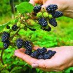 Выращивание ежевики садовой посадка и уход, рекомендации по размножению, а также правила обрезки