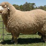 Как называется шерсть снятая с овец Где используется шерсть овцы 9 интересных фактов