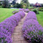 Как вырастить цветок лаванда, возможные болезни лаванды, виды и сорта на фото