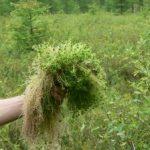 Болотный мох сфагнум где растет этот мох, как используется такой мох при выращивании комнатных