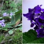 Выращивание и уход за стрептокарпусами в домашних условиях, инструкции с фото и видео