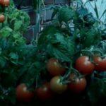 Овощи на балконе, выращивание на лоджии томатов, клубники