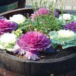 Декоративная капуста в ландшафтном дизайне сорта и виды с фото, посадка, советы по выращиванию и