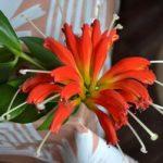 Ампельный цветок эсхинантус описание и разновидности с фото, уход в домашних условиях, способы