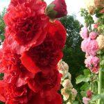 Выращивание шток розы из семян когда сажать, посадка и уход в открытом грунте за однолетней