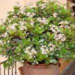 Живое дерево лечебные свойства и вред, противопоказания и правильное применение