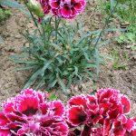 Гвоздика шабо выращивание из семян, особенности посадки и ухода за цветком, фото садовых гвоздик
