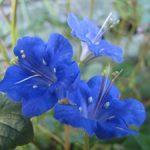 Как вырастить фацелию калифорнийский колокольчик свойства цветка и уход, выращивание из семян,