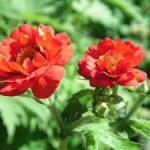 Гравилат посадка в открытый грунт, выращивание рассады и уход, сорта растения на фото