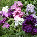Выращивание левкоя из семян когда сажать, уход в домашних условиях, фото цветов