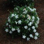 Выращивание жасминовидной гардении в домашних условиях описание, посадка и уход за цветком