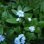 Выращивание брунеры в открытом грунте виды цветка, особенности посадки и ухода, способы размножения