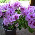 Как выращивать пеларгонию королевскую в домашних условиях особенности посадки, правила ухода,
