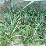 Как посадить и вырастить ананас в домашних условиях правила выращивания и ухода, способы размножения