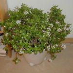 Как вырастить денежное дерево уход за растением, размножение и цветение толстянки в домашних