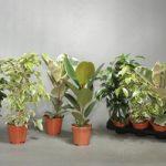 Как выращивать фикус и размножать в домашних условиях нюансы выращивания, способы размножения и