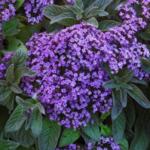 Гелиотроп разновидности, сорта и фото цветка, особенности посадки и ухода
