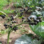 Выращивание из семян ягоды санберри процесс ухода за черникой и её полезные свойства