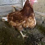 Воспаление зоба у курицы – лечение и методы профилактики