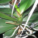 Болезни орхидеи фаленопсис их профилактика, вредители и способы лечения с фото