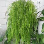 Выращивание и уход в домашних условиях рипсалиса, фото растения