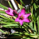 Иксия посадка растения в открытый грунт, особенности выращивания и уход за ней, фото