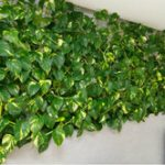 Вьющиеся комнатные цветы фото, название и описание цветущих и декоративно-лиственных растений для