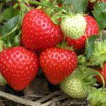 Земляника александрина — выращивание из семян преимущества метода, технология выращивания клубники