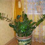 Замиокулькас уход за цветком в домашних условиях, включающий правила полива и подбор субстрата,