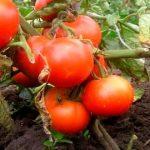 Лучшие сорта помидоров и томатов 2019 года — 10 ТОП рейтинг лучших для теплицы и грунта