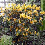 Пахистахис — уход в домашних условиях и размножение комнатного цветка, виды с фото