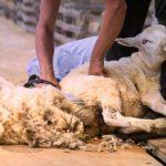 Рейтинг лучших машинок для стрижки овец в 2019 году