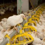 Птичий грипп у кур симптомы, признаки, профилактика и лечение