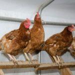 У курицы опухла голова или щека