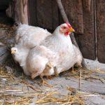 Через сколько дней вылупляются цыплята в инкубаторе и под курицей