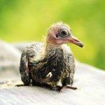 Узбекские голуби — о разновидностях, содержании, особенностях ухода