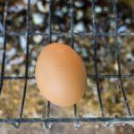 Сколько яиц несет курица в день максимум в домашних условиях