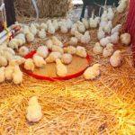 Микоплазмоз у цыплят бройлеров и несушек