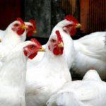 Метронидазол для цыплят бройлеров