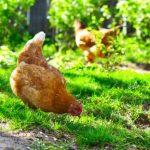 Куриные блохи, клещи, вши на человеке – опасно ли это