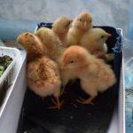 Расклев (каннибализм) у цыплят