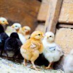 Чем поить кур-несушек для профилактики болезней